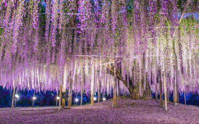Découvrez cette féerique glycine géante au Japon : le plus bel arbre du Monde ?